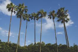 palm trees-Orlando